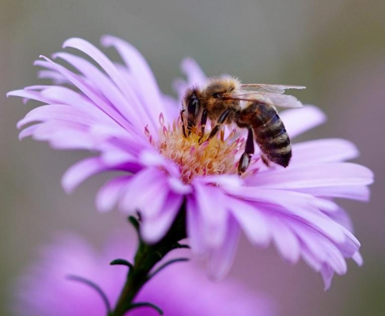 api finocchiona
